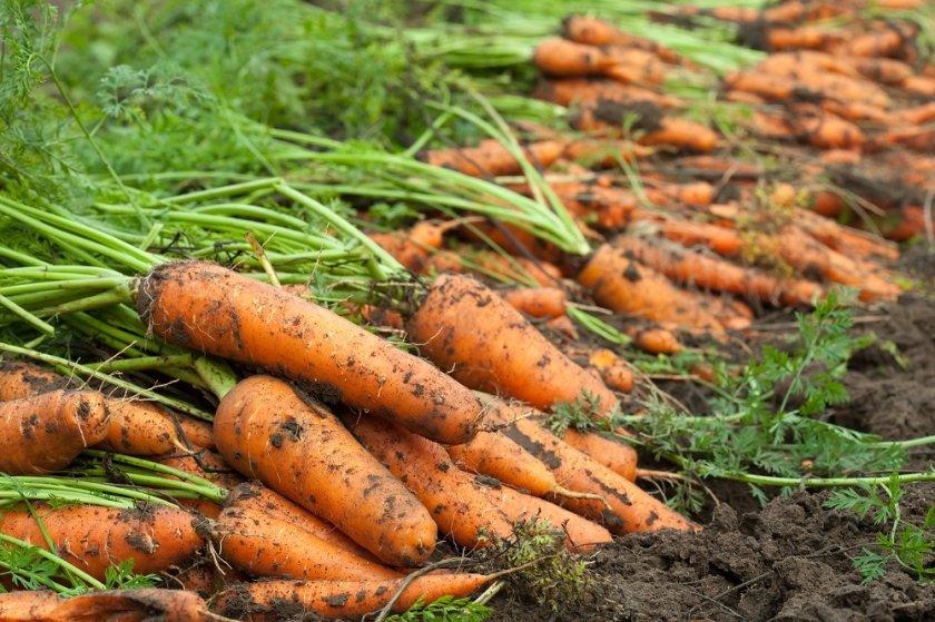 Просушка моркови