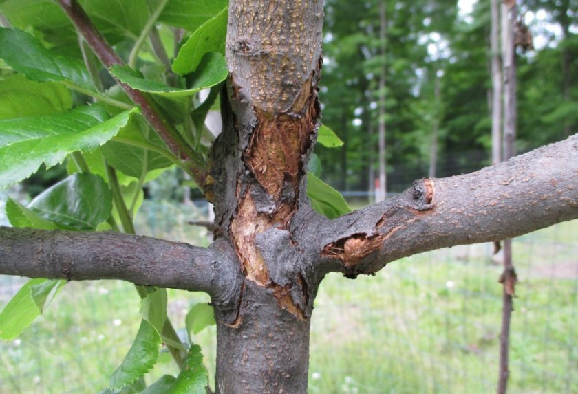 Бактериальный рак яблони