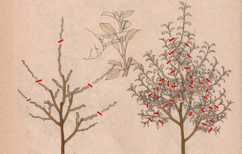 Обрезка декоративной яблони