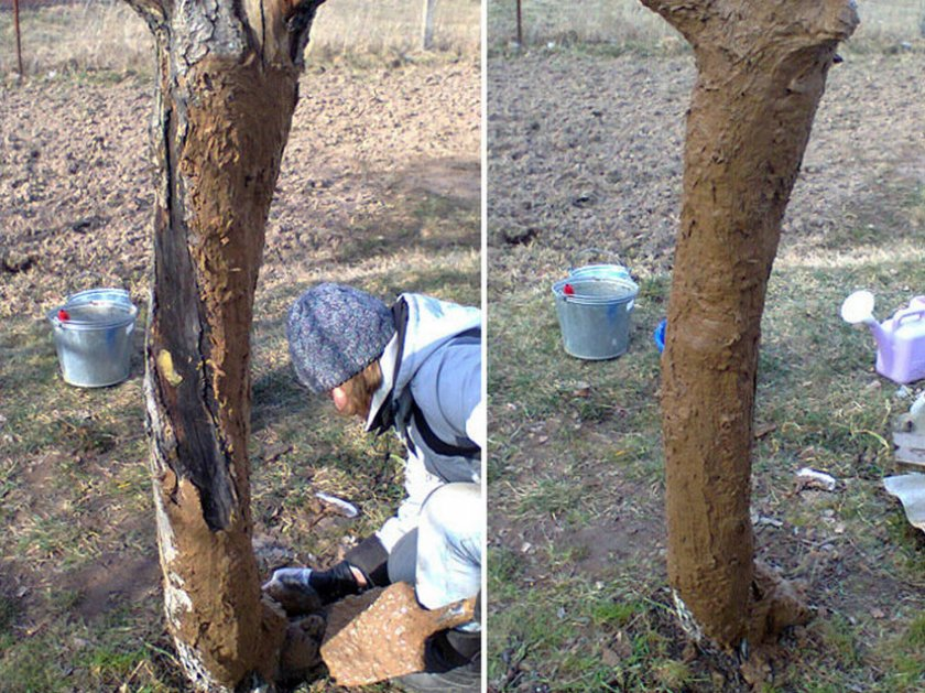Смесь глины и коровяка для лечения рака яблони