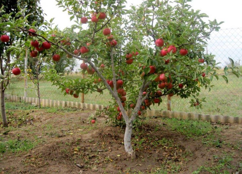 Здоровая яблоня