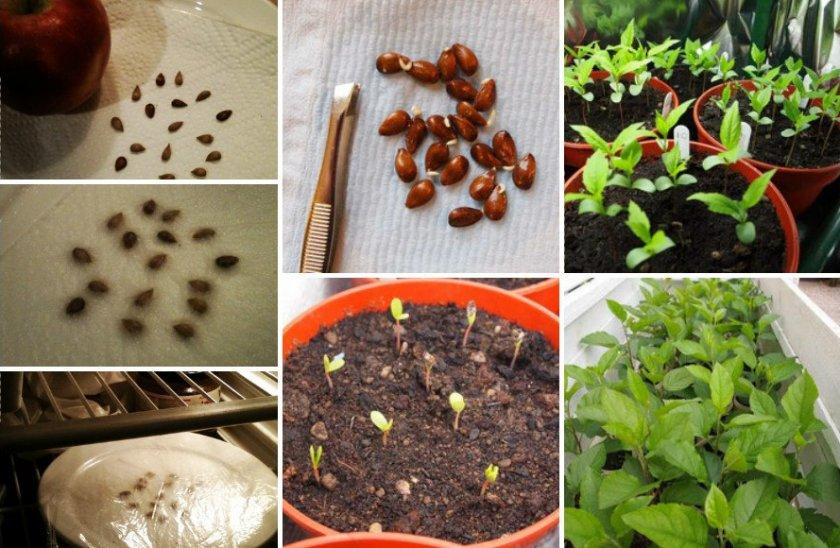 Выращивание яблони семенами