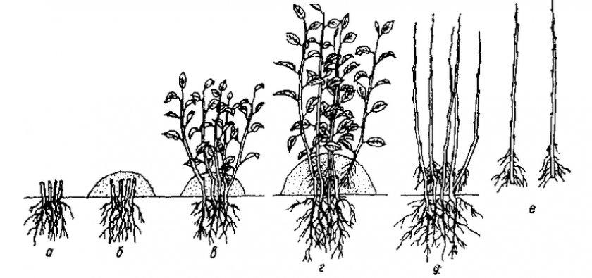 Вегетативные отводки яблони