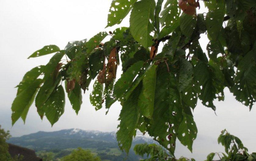 Клястероспориоз дерева черешни