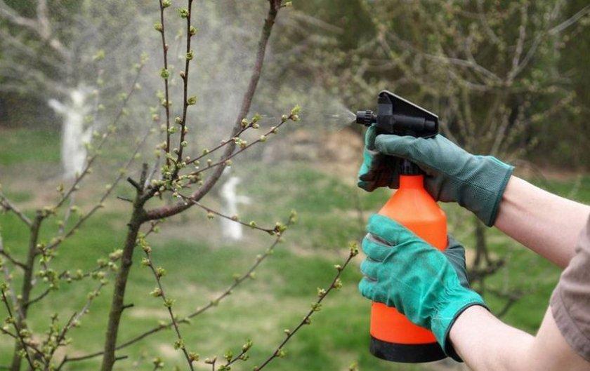 Опрыскивание деревьев черешни
