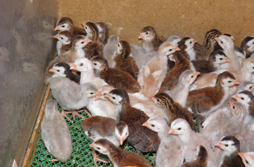 Птенцы цесарки