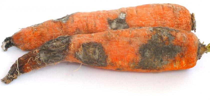 Альтенариоз моркови
