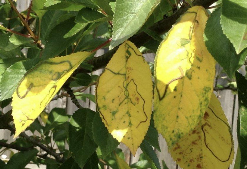 Хлороз черешневого дерева