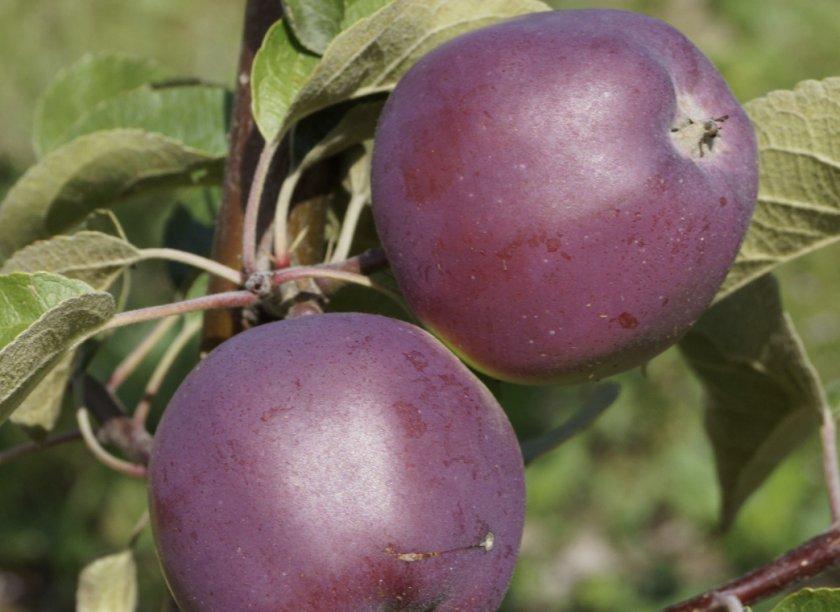 Яблоки сорта Зорька