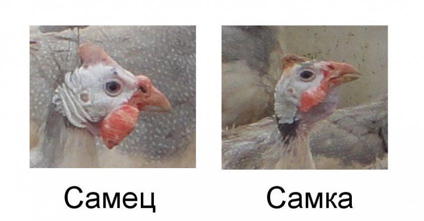 Различие самки и самца по клюву