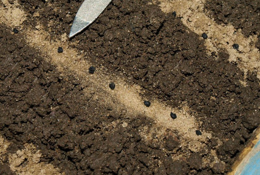 Высаживание семян лука