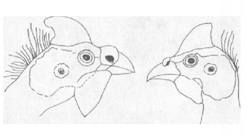 Схематичные различия головы самки и самца