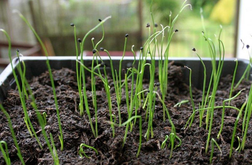 Выращивание лука рассадным способом