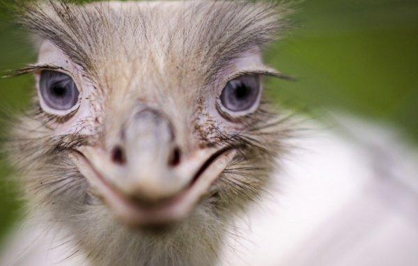 Почему страус прячет голову в песок, интересные факты