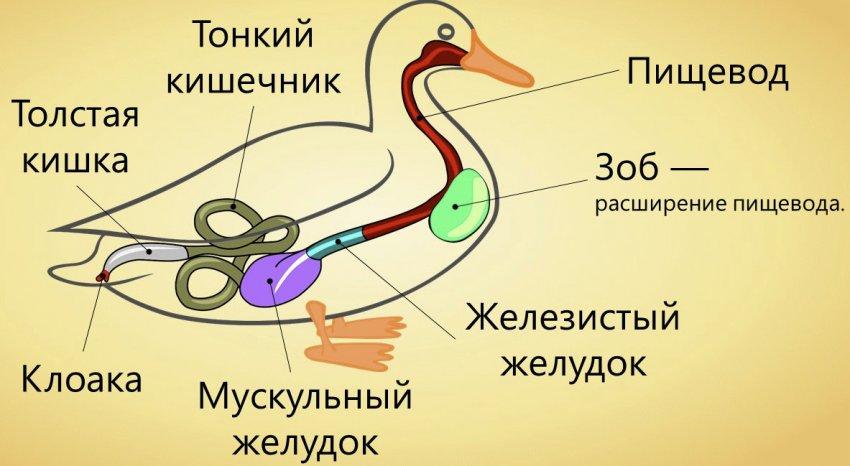 Пищеварительная система уток