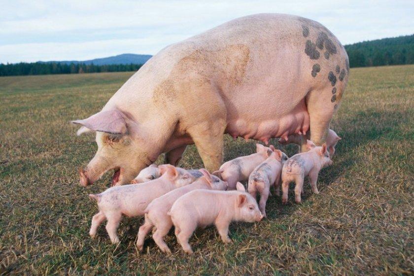 Промышленные изготовители Украины увеличили реализацию свинины на 5,5%
