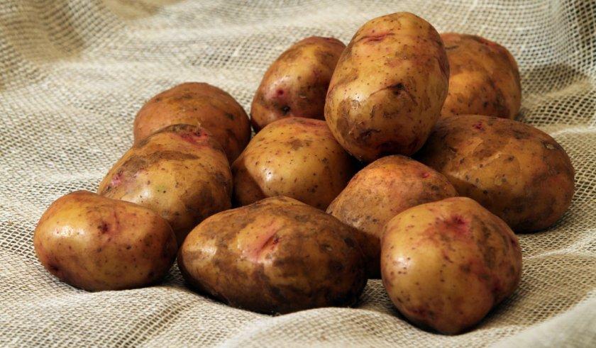 Картофель сорта Свитанок Киевский
