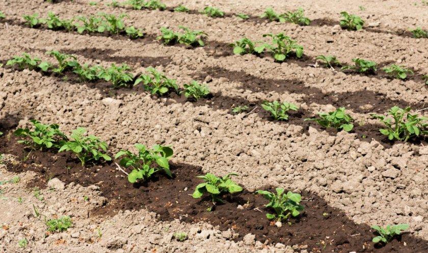 Полив и удобрение картофеля