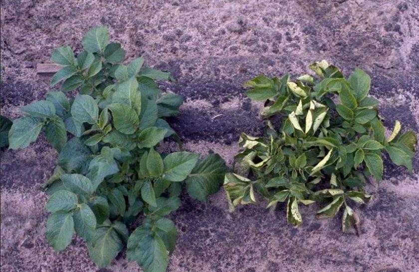 Вирус скручивания листьев картофеля