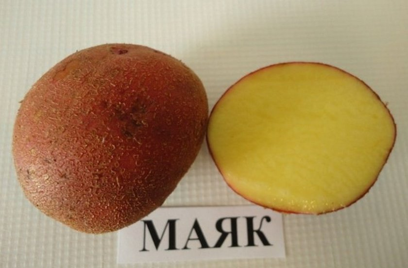 Картофель сорта Маяк