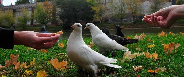 Болезни голубей: симптомы и лечение в домашних условиях