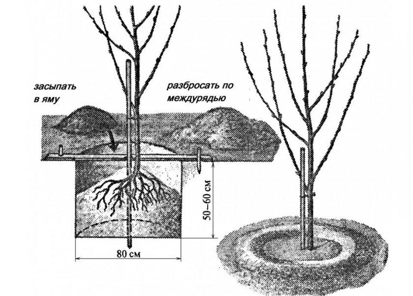 Схема посадки саженца вишни