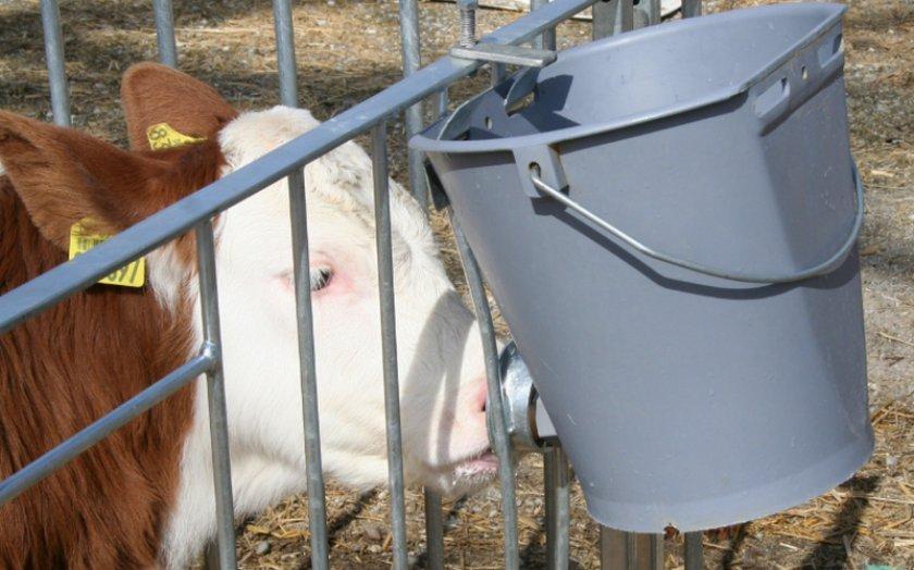 Выпаивание коровы