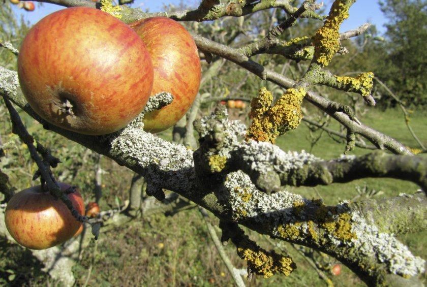 Лишайники на яблоне