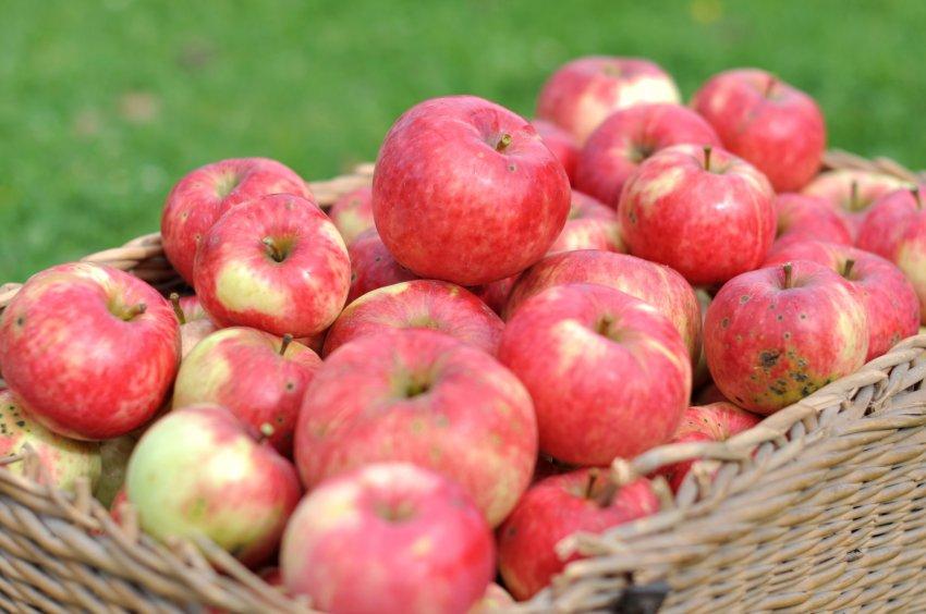 Яблоки для хранеия
