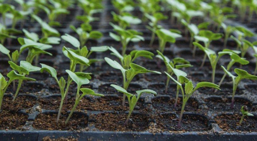 Рассада семян капусты