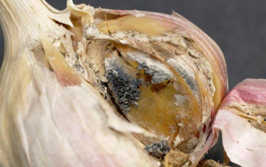 Грибковые заболевания чеснока