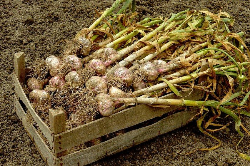 Сбор урожая чеснока