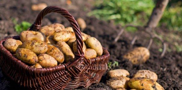 Картофель Зорачка описание и характеристика сорта урожайность с фото
