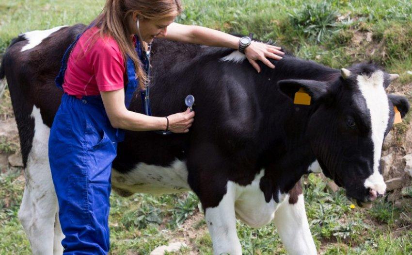 Осмотр коровы, как метод профилактики остановки желудка