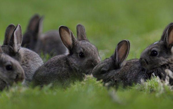 Как кастрировать кроликов в домашних условиях. Кастрация кроликов, подробная информация
