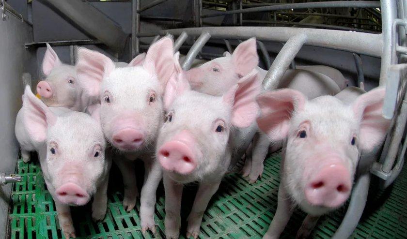На свинофермах Великобритании подтверждены случаи свиной дезинтерии