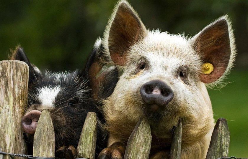 Украинские свиноводы скрывают случаи АЧС