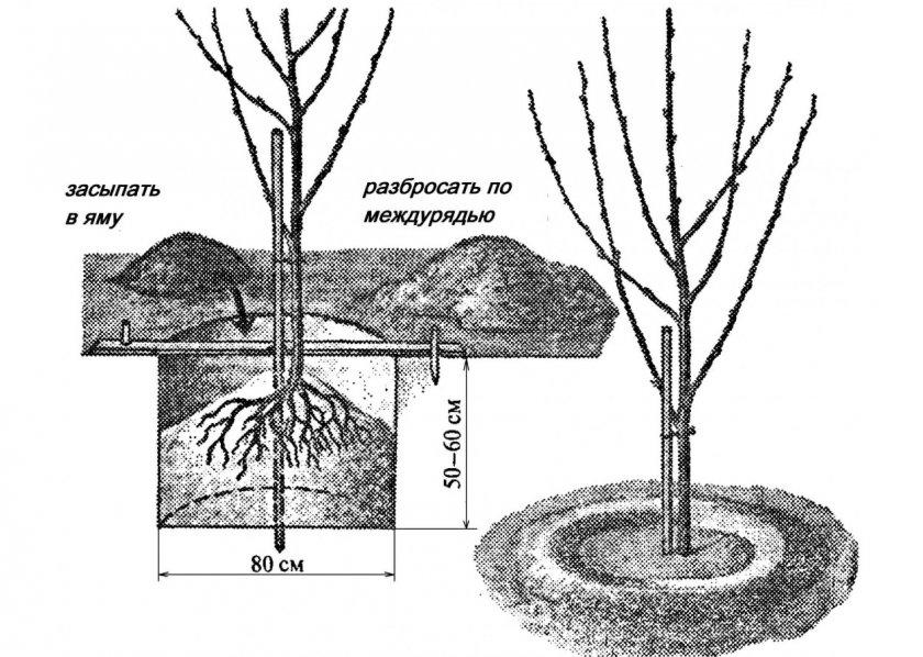 Схема посадки саженца черешни