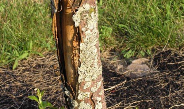 На фруктовых деревьях трескается кора