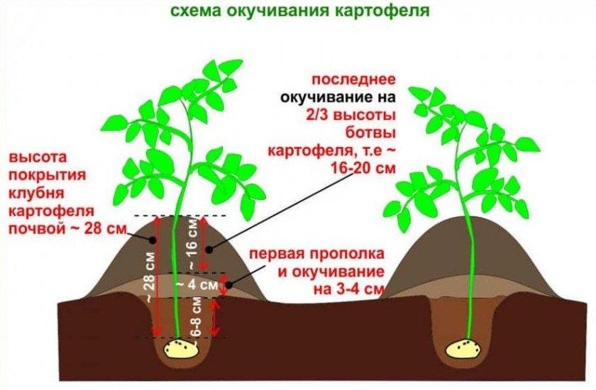 Схема окучивания картофеля