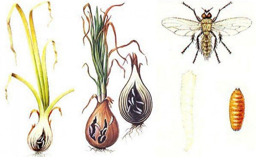 Схема поражения лука луковою мухой