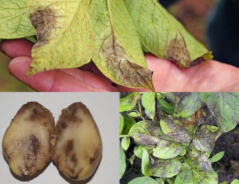 Фитофтора картофеля