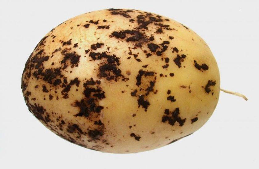 Чёрная парша на клубне картофеля
