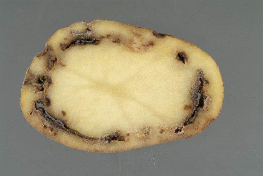 Кольцевая гниль на картошке