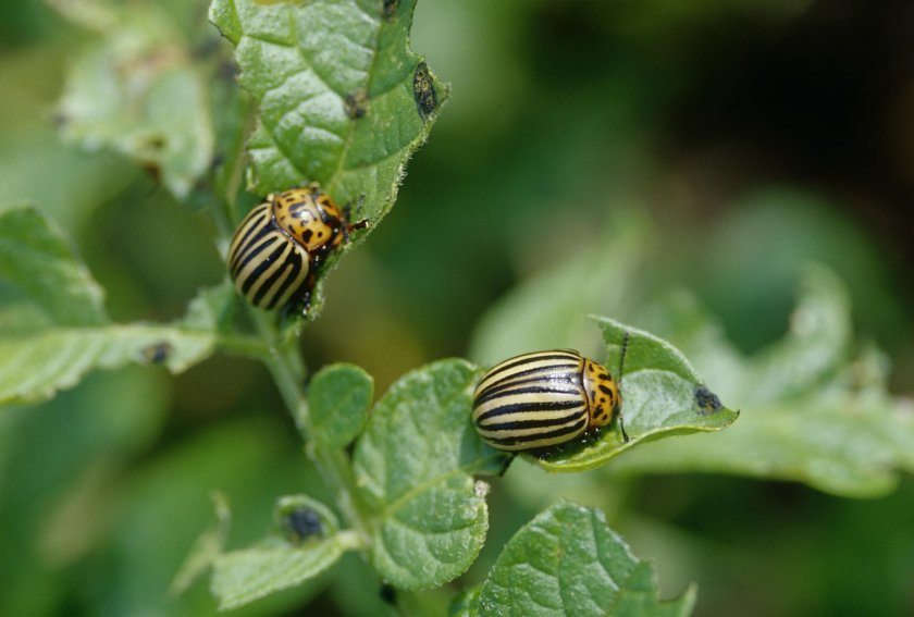 Колорадские жуки на картофеле