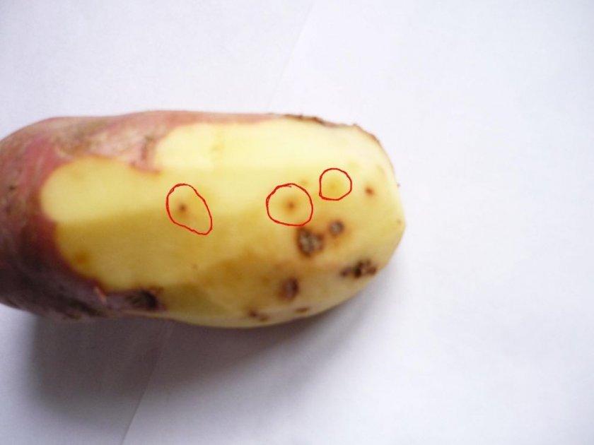 Наличие нематод в картошке