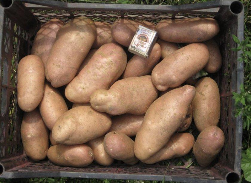 Картошка Американка