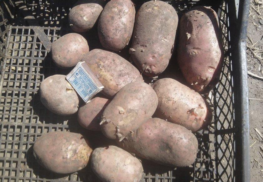 Урожай картофеля Ранняя роза
