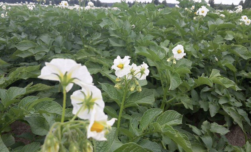 Цветение картофеля сорта Американка