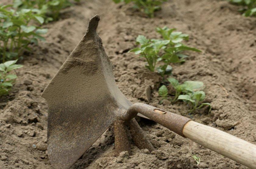 Рыхление почвы возле картофеля